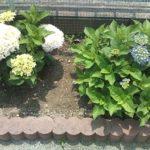 自宅の庭のあじさいがキレイです(^^)/
